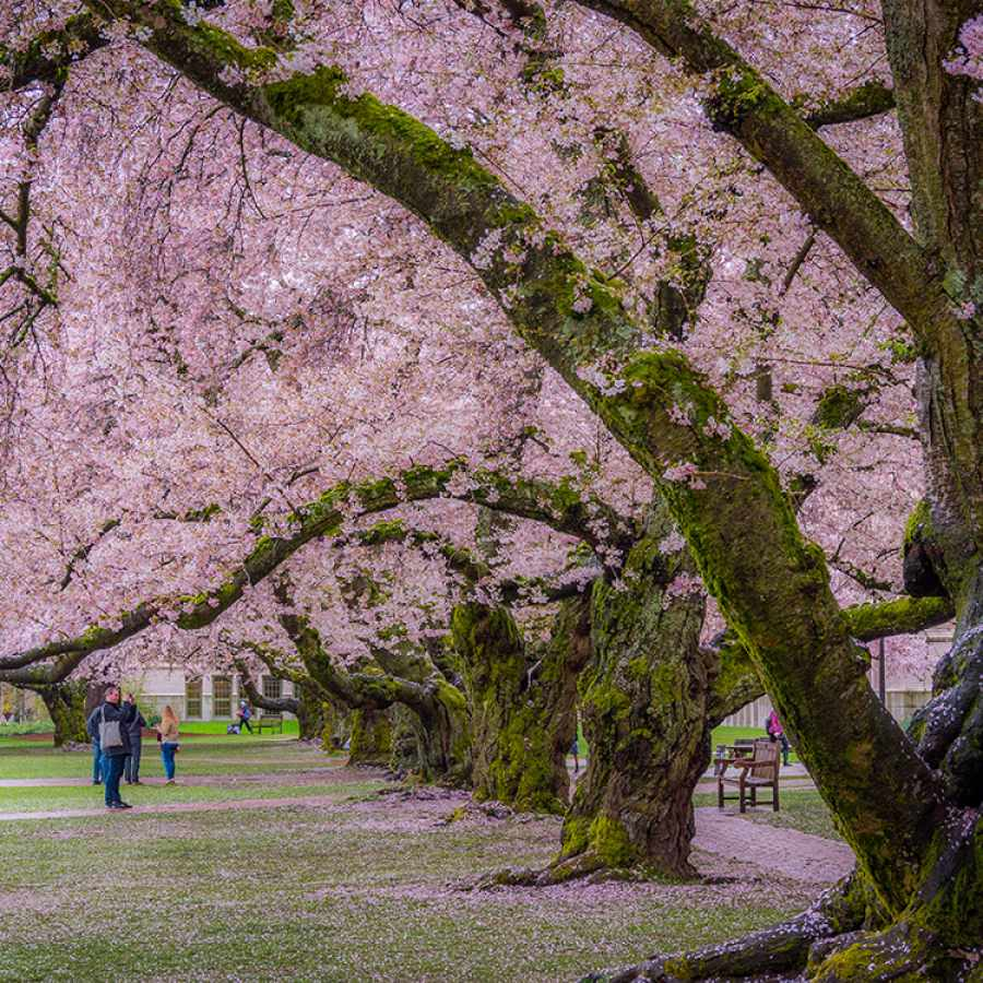Cherry Blossoms at the University of Washington in Seattle